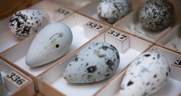 Lomvie æg, Fuglemuseet i Jönköping