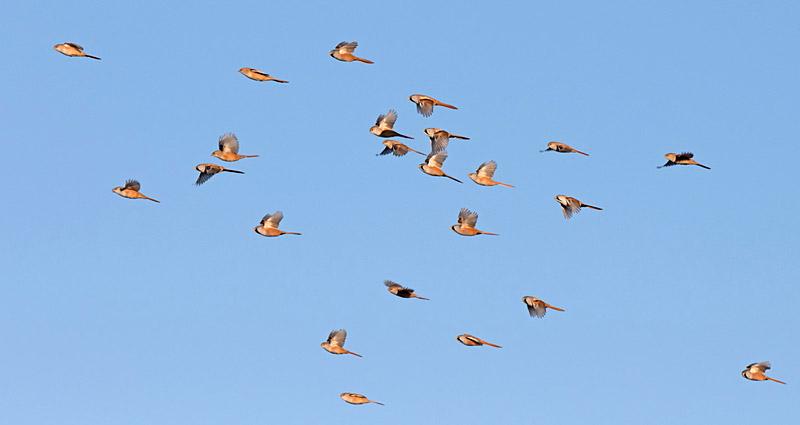 Oplev fugletrækket over Falsterbo. Foto: P-G Bentz