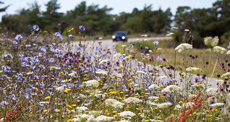 Vejkant med vilde blomster på Gotland