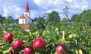 Æbledyrkning ved Kivik. Foto: skaane.com © sydpol.com