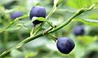 Vilde svenske blåbær