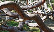 Trollskogen på Øland
